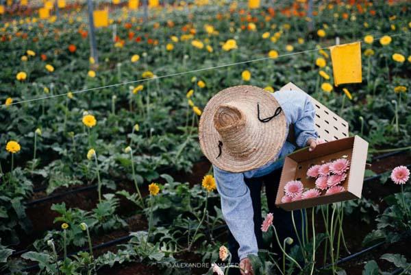 homem colhe flores em holambra