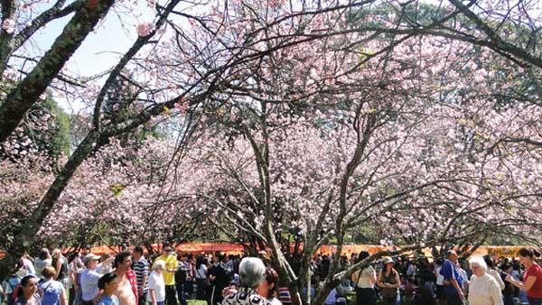 cerejeiras do parque do carmo