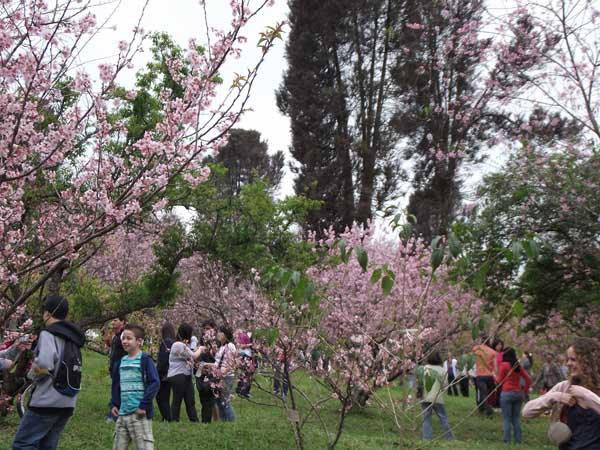 Parque do Carmo durante a Festa das Cerejeiras