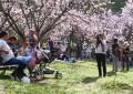 Festa da Cerejeira no Parque do Carmo é tradição na cidade de São Paulo