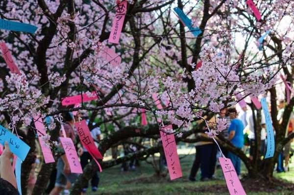 festa carmo cerejeira - Conheça as cerejeiras do Parque do Carmo