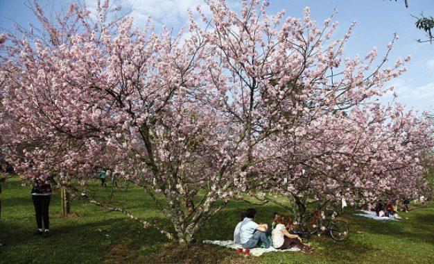 Festa das Cerejeiras celebra imigração japonesa na cidade