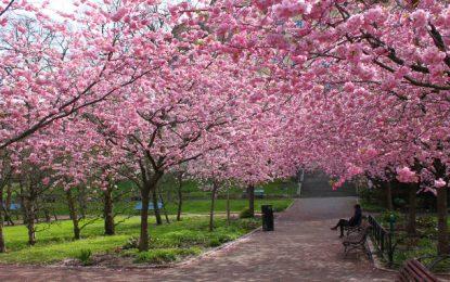 Festa das Cerejeiras 2018 é no início de agosto no Parque do Carmo