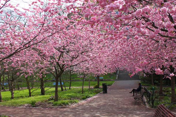 O ano de 2018 marca a 40ª edição da Festa das Cerejeiras, que acontece anualmente no Bosque das Cerejeiras, no Parque do Carmo, em São Paulo.